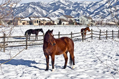 Horses in Bozeman. Bozeman, Montana (USA) in the winter is cold, often well below zero type of cold. Driving the side roads in 2009 we were captivated by these Royalty Free Stock Image