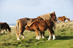Horses in Brittany Royalty Free Stock Photography