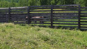 Horses in the pen. Horses of brown color stand in a wooden pen stock footage
