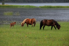 Horses browse in Shangri-La Royalty Free Stock Photos