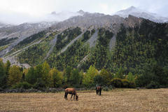 Horses browsing by the mountains. Horses browsing freely at the foot of mountains Stock Photos