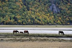 Horses browsing near  mountain lake Stock Photo