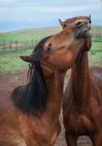 Horses in the Buryat village, Olkhon, Lake Baikal, Russia Royalty Free Stock Photography