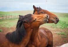 Horses in the Buryat village, Olkhon, Lake Baikal, Russia Royalty Free Stock Images