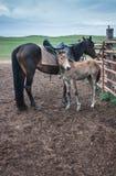 Horses in the Buryat village, Olkhon, Lake Baikal, Russia Royalty Free Stock Photo