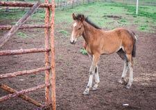 Horses in the Buryat village, Olkhon, Lake Baikal, Russia Stock Images