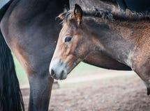 Horses in the Buryat village, Olkhon, Lake Baikal, Russia Stock Image