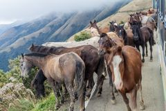 Horses and a bus on a mountain road between Balsas and Leimebamba, Pe. Ru stock photography