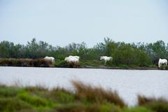 Horses in the bush. Camargue Stock Image