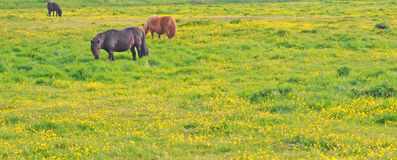 Horses and buttercups Royalty Free Stock Image