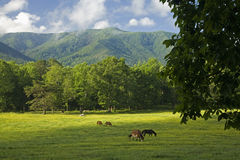 Horses, Cades Cove, Great Smoky Mtns Nat Park, TN. Horses, Cades Cove, Great Smoky Mountains National Park, Tennessee royalty free stock image
