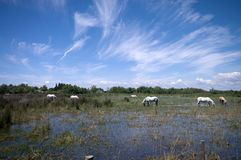 Horses in Camargue Royalty Free Stock Photography