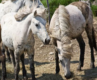 Horses in the Camargue Royalty Free Stock Photos