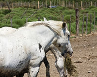 Horses in the Camargue Royalty Free Stock Photo