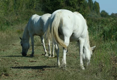 Horses Camargue breed Stock Image