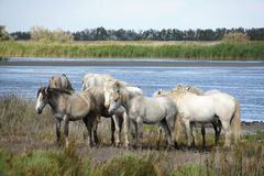 Horses from Camargue, France. Royalty Free Stock Photo