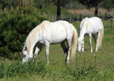 Horses in Camargue, France stock photography