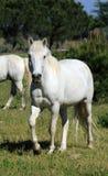 Horses in Camargue, France Stock Photos