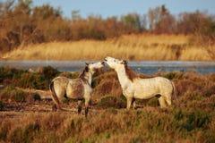 Horses of Camargue. Two white horses of Camargue Stock Image