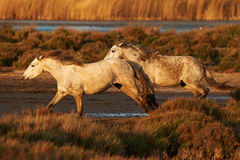 Horses of Camargue. Two white horse of Camargue running in the countryside Stock Image