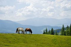 Horses in Carpathians mountains. In summer Royalty Free Stock Photo