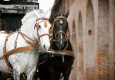 Horses in carriage Royalty Free Stock Photo