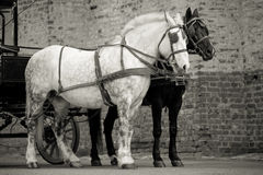 Horses in carriage Stock Images