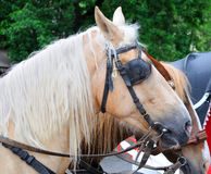 Horses in carriage. Head of horse harness closeup royalty free stock photos