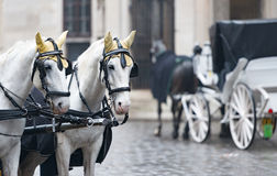 Horses and carriage on stefansplatz in Vienna. Pair of white horses and retro carriage on stefansplatz in Vienna, Austria. Europe travel Royalty Free Stock Photos