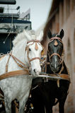 Horses in carriage Royalty Free Stock Photography