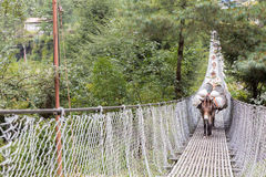 Horses carrying load crossing suspension bridge. Stock Photos