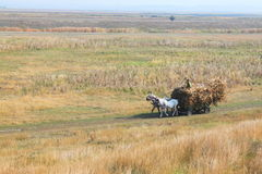 Horses at cart with corncobs Stock Photo