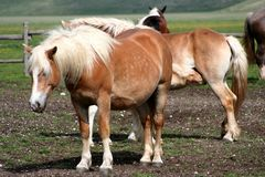 Horses in Castelluccio Stock Photos