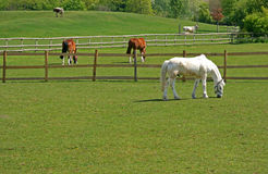 Horses and cattle grazing. In a fenced field Royalty Free Stock Image