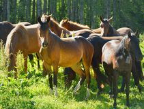 Horses in Caucasus Stock Photos