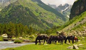 Horses in Caucasus Stock Images