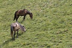 Horses in the Caucasus Stock Image