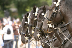 Horses Changing Guard Royalty Free Stock Photography