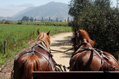 Horses Charriot in Vineyard Chile Stock Photography