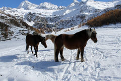 Horses in Cheneil Royalty Free Stock Images