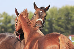 Horses chestnut and red suit like each other Royalty Free Stock Photo