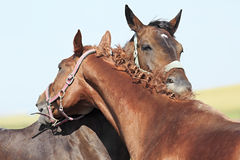 Horses chestnut and red suit like each other Royalty Free Stock Images