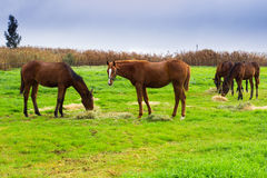 Horses chewing hay on green field Stock Photos