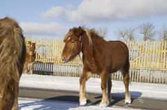 Horses. On a clear sunny day beautiful foal brown color goes asphalt road Royalty Free Stock Photo