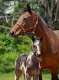 Horses 226 Royalty Free Stock Images
