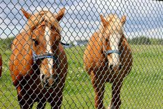 Horses In royalty free stock photography
