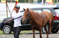 Horses. Coaches used to prepare a horse before a race in a field in Sukoharjo, Central Java, Indonesia royalty free stock photo