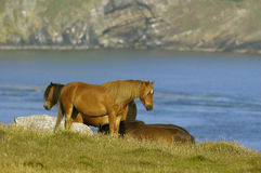Horses on coastal grassland Stock Photos