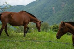 Horses in Colombian Countryside Grazing stock photos