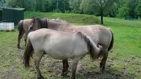 Horses. A colt with mother in the countryside stock video